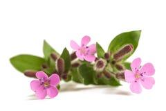Pospolici soapwort Saponaria officinalis Obrazy Stock
