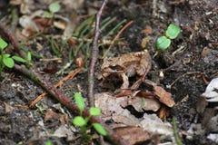 Pospolita żaba zdjęcie royalty free