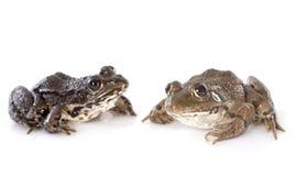 Pospolita żaba Zdjęcia Stock