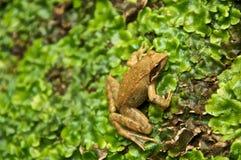 Pospolita żaba na piżma Rana Dalmatina Obrotny Obrazy Stock