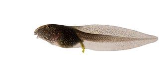 Pospolita żaba, Rana temporaria tadpole odizolowywający na białym tle zdjęcie stock