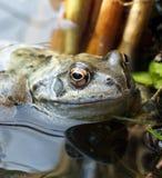 Pospolita żaba w stawowej roślinności Zdjęcia Royalty Free