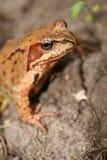 Pospolita żaba Zdjęcia Royalty Free