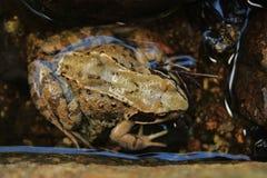 Pospolita żaba Zdjęcie Stock