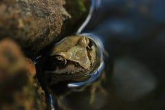 Pospolita żaba Fotografia Stock