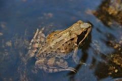 Pospolita żaba Obrazy Stock