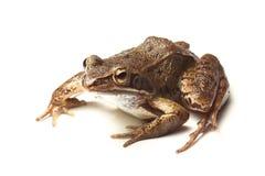 Pospolita żaba (Rana temporaria) obrazy stock
