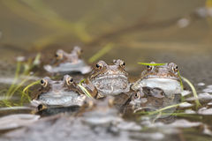 Pospolita żaba (Rana temporaria) Fotografia Stock