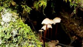 Pospolita czapeczka pieczarki - Mycena galericulata - zdjęcie wideo