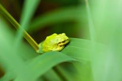 Pospolita drzewna żaba obraz stock