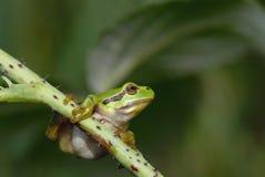 Pospolita drzewna żaba - Hyla arborea Obraz Stock