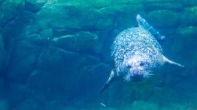 Pospolita foka p?ywa podwodnego, pi?knego portret schronienie foka, pospolity morski ssak od pokojowego i atlantyckiego wybrze?a zdjęcia stock