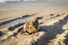 Pospolita foka sunbathing na plaży obrazy stock