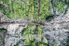 Pospolita Guillemots kolonia na Skomer wyspie Pembrokeshire Zachodni Walia UK zdjęcia royalty free