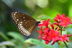 Pospolita indianin wrona butterly Zdjęcie Royalty Free