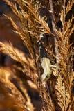 Pospolita jaszczurka chuje w żywopłot roślinie obraz royalty free