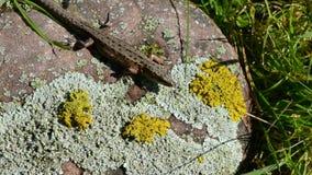 Pospolita jaszczurka na lato kamieniu (Lacerta vivipara) zbiory