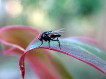 Pospolita komarnica na Aglaonema Lipstik liściu Obrazy Royalty Free