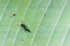 Pospolita mrówka na liściu Obrazy Royalty Free