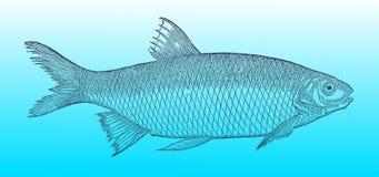 Pospolita płoć w odgórnym widoku na niebieskozielonym gradientowym tle &-x28; po dziejowej lub rocznika woodcut ilustraci Zdjęcie Stock