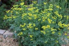 Pospolita ruta lub ziele graci Ruta graveolens ziołowa roślina w th Zdjęcia Stock