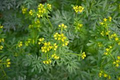 Pospolita ruta z kwiatami, Ruta graveolens w ogródzie, wybierająca ostrość obrazy stock