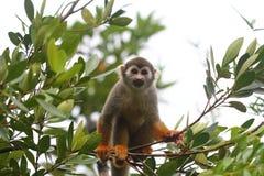 Pospolita Wiewiórcza małpa patrzeje kamerę fotografia royalty free