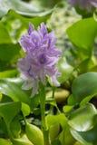 Pospolita wodnego hiacyntu roślina Zdjęcia Stock