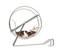 Pospolite domowe myszy bawić się w whee Zdjęcia Stock