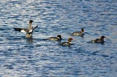 Pospolite nurogęsi Pływa w jeziorze Zdjęcie Stock
