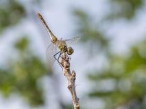 Pospolite wężowe, młode samiec, Obraz Royalty Free