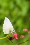 Pospolitego albatrosa motyli łasowanie (Appias albina darada) Obrazy Stock