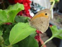Pospolitego ` Brown ` Łąkowy motyl Obrazy Stock