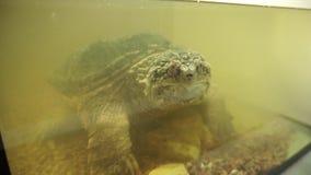 Pospolitego chapnąć żółwia spojrzenia w obiektyw Zakończenie zdjęcie wideo