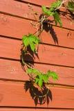 pospolitego chmielu rośliny potomstwa Zdjęcie Royalty Free