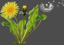 Pospolitego Dandelion roślina ilustracji