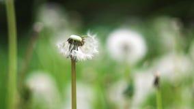 Pospolitego Dandelion wiatru ciosu zwolnione tempo zdjęcie wideo