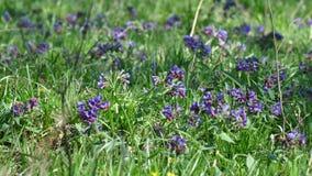 Pospolitego farbownika dziki kwiat Obraz Royalty Free