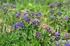 Pospolitego farbownika dziki kwiat Zdjęcia Stock