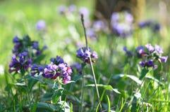 Pospolitego farbownika dziki kwiat Zdjęcie Stock