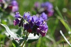 Pospolitego farbownika dziki kwiat Fotografia Stock