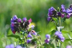Pospolitego farbownika dziki kwiat Obrazy Royalty Free