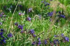 Pospolitego farbownika dziki kwiat Obraz Stock