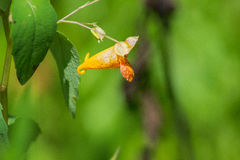 Pospolitego Jewelweed †'Impatiens capensis Obrazy Royalty Free