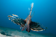 pospolitego lionfish mil pterois tylni widok Zdjęcia Stock