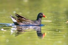 Pospolitego moorhen ptasi dopłynięcie w odbijać wodę Fotografia Royalty Free