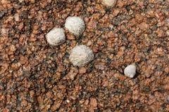 Pospolitego skałoczepu ślimaczków rzepki vulgata Obraz Royalty Free