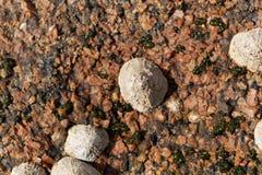 Pospolitego skałoczepu ślimaczków rzepki vulgata Fotografia Royalty Free
