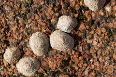 Pospolitego skałoczepu ślimaczków rzepki vulgata Zdjęcie Royalty Free