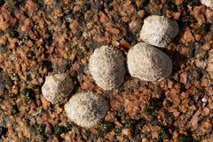 Pospolitego skałoczepu ślimaczków rzepki vulgata Zdjęcie Stock